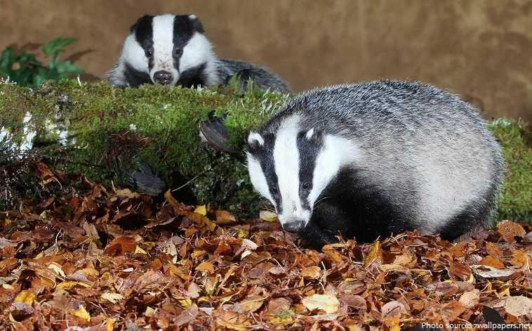 National Badger Day UK